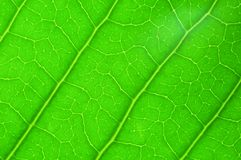 Green leaf texture for background Stock Image