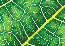 Green leaf texture background Royalty Free Stock Photography