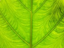 Green leaf Royalty Free Stock Photos