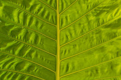 Green leaf texture Royalty Free Stock Images