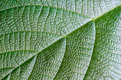 Green leaf texture for background. Pattern of leaves. Selective focus Royalty Free Stock Images