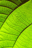 Green leaf texture for background. Pattern of leaves. Selective focus. Natural background Stock Photos