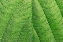 Green leaf texture. Background Plant Royalty Free Stock Photography