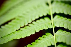 Green leaf texture background, tropical leave foliage are shaped like tiny spikes, leaves in tropical forest. Green concept Royalty Free Stock Photos