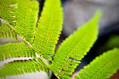 Green leaf texture background, tropical leave foliage are shaped like tiny spikes, leaves in tropical forest. Green concept Stock Photography