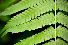 Green leaf texture background, tropical leave foliage are shaped like tiny spikes, leaves in tropical forest. Green concept Royalty Free Stock Images