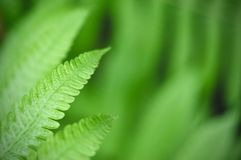 Green leaf texture background, tropical leave foliage are shaped like tiny spikes, leaves in tropical forest. Green concept Royalty Free Stock Photography