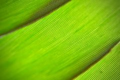 Green leaf texture background, tropical leave foliage are shaped like tiny spikes, leaves in tropical forest. Green concept Stock Image