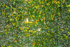 Green leaf texture background. On wall Royalty Free Stock Images