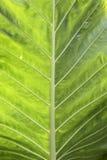Green leaf texture. Bangkok, Thailand - Nov 23, 2011 : Green leaf texture close-up Royalty Free Stock Images