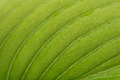 Green leaf. Texture of bright green leaf with wet drops close-up Royalty Free Stock Photos