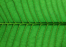 Green leaf texture. Close up Royalty Free Stock Photography