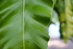 Green leaf texture. Close up green leaf texture royalty free stock photos