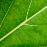 Green leaf texture close up background Royalty Free Stock Photography