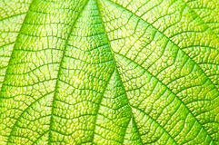 Green leaf texture closeup Royalty Free Stock Photos
