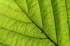Green leaf texture closeup Royalty Free Stock Images