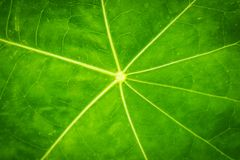 Green Leaf texture closeup nature pattern plant. Royalty Free Stock Image