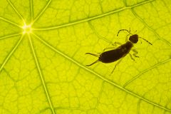 Green leaf texture with earwig Stock Images
