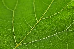 Green leaf texture Stock Photography