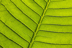 Green leaf texture. Fresh green leaf veins texture Stock Images