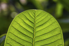 Green leaf texture. Fresh green leaf veins texture Stock Photography