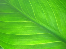 Green leaf texture macro Stock Photo