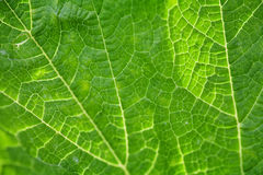 Green leaf texture. Macro view. Soft focus. Royalty Free Stock Photos