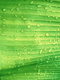 Green leaf texture with rain drop. Fresh nature for abstract bac Royalty Free Stock Photography