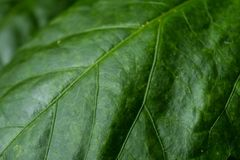 Green leaf texture, selective focus.  Royalty Free Stock Photos