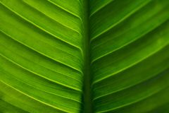 Green leaf texture, selective focus.  Royalty Free Stock Images