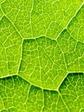 Green Leaf Texture With Visible Stomata Covering The Epidermis Layer. Green Leaf Texture With Visible Stomata Covering The Outer Epidermis Layer stock photography