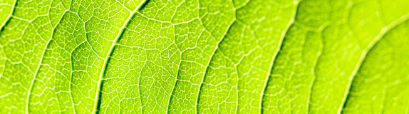 Green Leaf Texture With Visible Stomata Covering The Epidermis Layer. Green Leaf Texture With Visible Stomata Covering The Outer Epidermis Layer stock photo