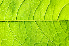 Green Leaf Texture With Visible Stomata Covering The Epidermis Layer. Green Leaf Texture With Visible Stomata Covering The Outer Epidermis Layer stock image