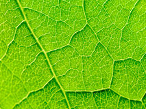 Green Leaf Texture With Visible Stomata Covering The Epidermis Layer. Green Leaf Texture With Visible Stomata Covering The Outer Epidermis Layer royalty free stock image