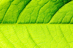 Green Leaf Texture With Visible Stomata Covering The Epidermis Layer. Green Leaf Texture With Visible Stomata Covering The Outer Epidermis Layer royalty free stock images