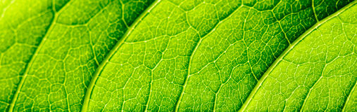 Green Leaf Texture With Visible Stomata Covering The Epidermis Layer. Green Leaf Texture With Visible Stomata Covering The Outer Epidermis Layer royalty free stock photo