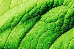 Green Leaf Texture With Visible Stomata Covering The Epidermis Layer. Green Leaf Texture With Visible Stomata Covering The Outer Epidermis Layer royalty free stock photography