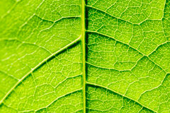 Green Leaf Texture With Visible Stomata Covering The Epidermis Layer. Green Leaf Texture With Visible Stomata Covering The Outer Epidermis Layer royalty free stock photos