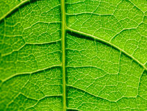 Green Leaf Texture With Visible Stomata Covering The Epidermis Layer. Green Leaf Texture With Visible Stomata Covering The Outer Epidermis Layer stock photos