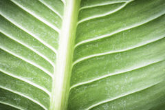 Green leaf texture with water stain. Green leaf texture with water stain for background Royalty Free Stock Image