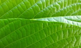 Green leaf textures Royalty Free Stock Photography