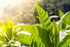 Green leaf tobacco  Close up anda blurred tobacco field backgrou Stock Photography