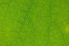 Green leaf of the tree Royalty Free Stock Photography