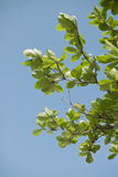 Green leaf. Of a tree against blue sky Stock Photos