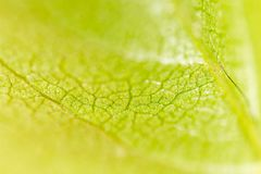 A green leaf of a tree as a background. Macro Royalty Free Stock Photo
