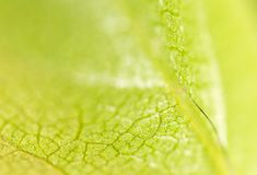 A green leaf of a tree as a background. Macro Royalty Free Stock Photography