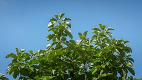 Green leaf in the tree behind blue sky. Summer season Royalty Free Stock Image