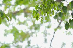Green leaf tree with bokeh light. Background royalty free stock image