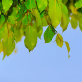 Green leaf on a tree Royalty Free Stock Photos