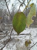 A green leaf of a tree covered with ice crystals. Freeze. Frost. Close-up Stock Photos